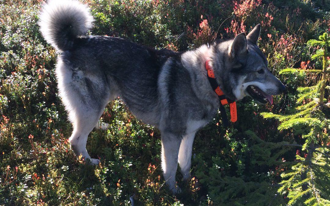 Resultater jaktprøver 2015- 2 dagers separat løshund